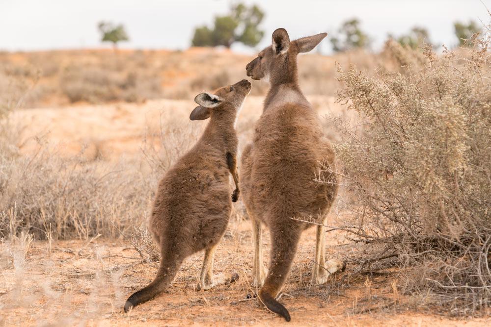 Junges Känguru und seine Mutter