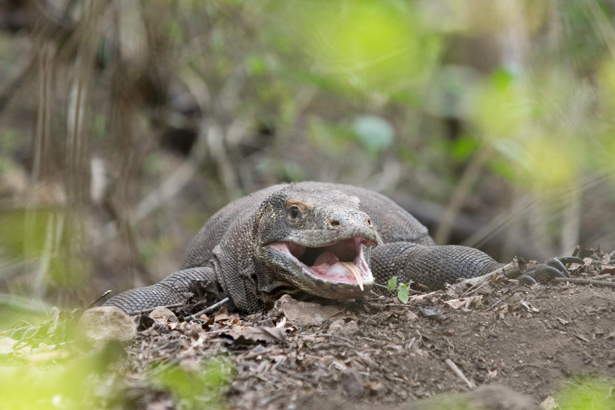 Komodo Waran bewacht sein Nest