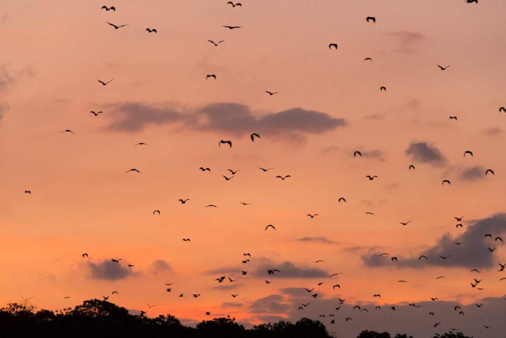 Fledermäuse bei Sonnenuntergang