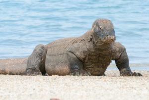 Waran am Strand von Komodo Island