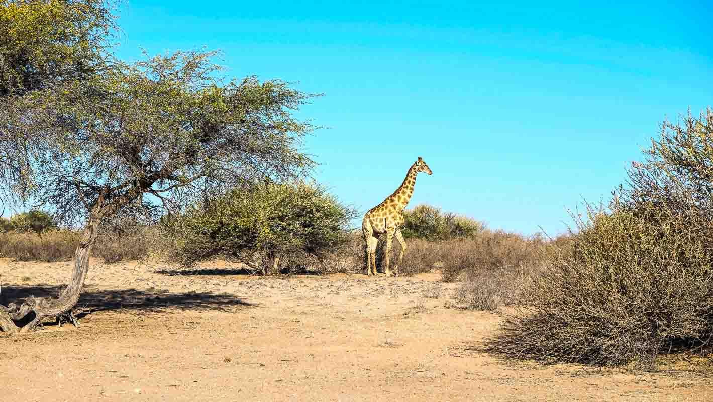 giraffe_namibia