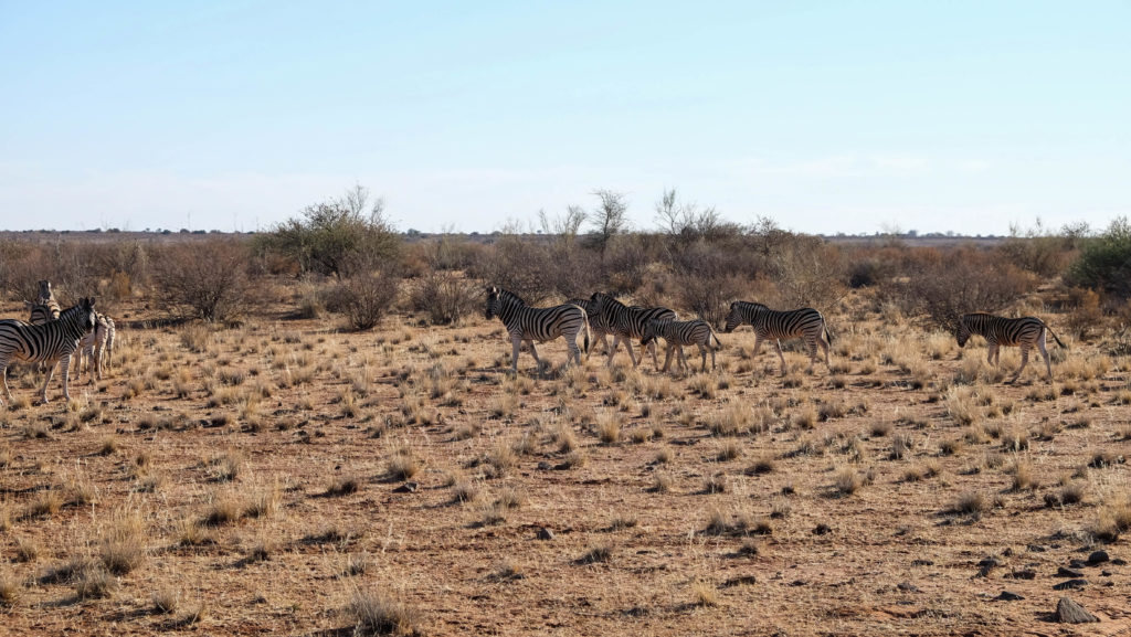 zebras_namibia-1024x577