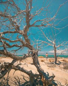 verdrocknete Bäume auf Chrissi