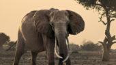 Elefant vor dem Satao Camp